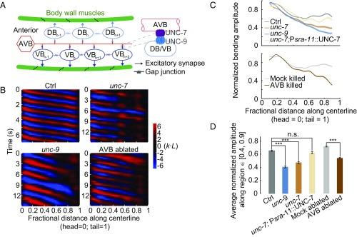 Descending pathway facilitates undulatory wave propagation in Caenorhabditis elegans through gap junctions.