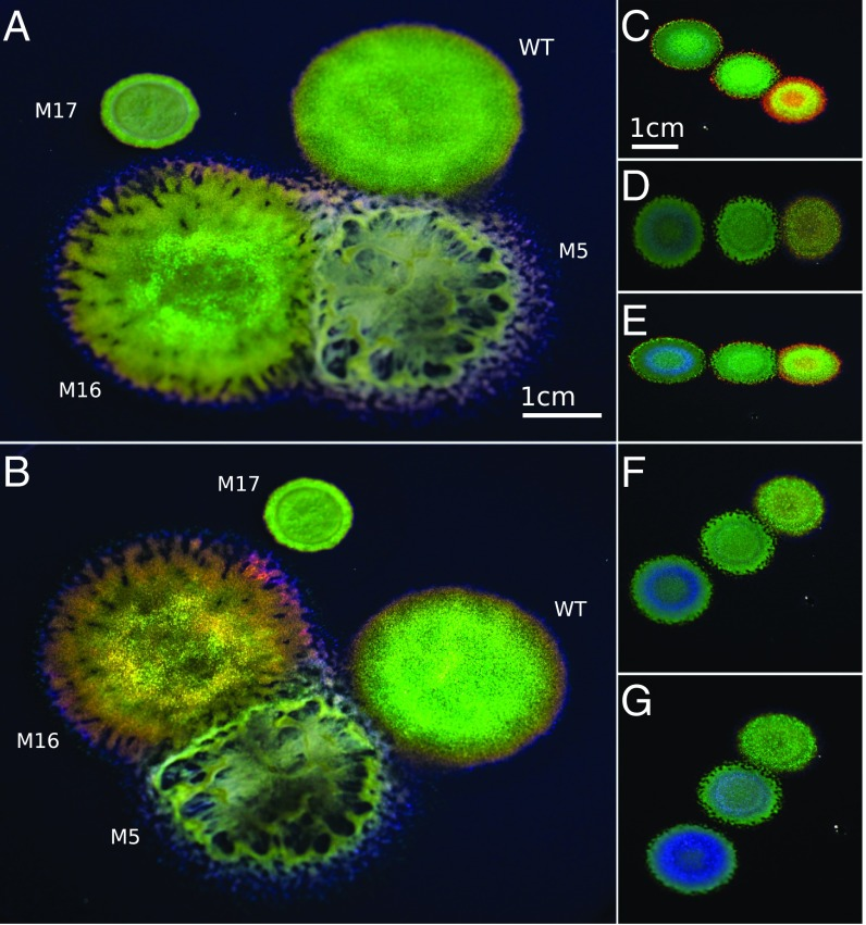 Genetic manipulation of structural color in bacterial colonies.